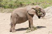 Elephant Feeding On Branch It Tore Down