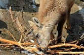 A Young Steinbock, The Alpine ibex, eats Twigs during the Winter in Alps