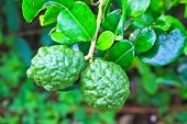 Leech Lime Or Bergamot Fruits On Tree