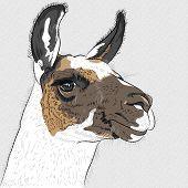 Vector Sketch Of Alpaca