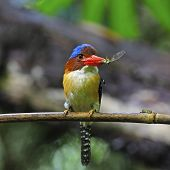 Male Banded Kingfisher