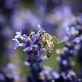 Bee And Lavandula Flower