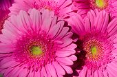 Background Of A Group Of Pink Gerberas