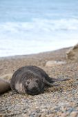 Cute Baby Seal, Valdes Peninsula