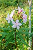 stock photo of oleander  - Pink Blossom Sweet oleander Rose bay flower with leave - JPG