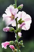 White And Pink Mallow (malva) In Summer