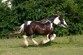 pic of workhorses  - A galopping gypsy vanner in a green field - JPG