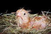 Newborn chick still wet after being hatched