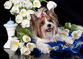 Beaver york terrier and white tulips