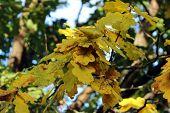 Branch Of Yellow Oak Leaves