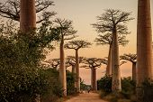picture of baobab  - Sunset sgot of famous Avenida de Baobab near Morondava in Madagascar - JPG