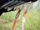 Annulate stork