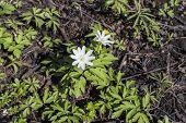 Anemone, Windfall (anemone Sylvestris)