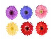 Gerbera, flowers