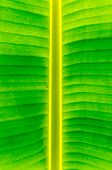 Banana Leaf Texture And Background