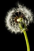 Dandelion seed head isolated on a black background