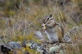 image of chipmunks  - chipmunk nibbles nuts among yellow grass closeup - JPG