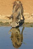 Warthog - African Wildlife Background - Reflection of Uniqueness