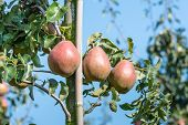 image of anjou  - Reddish pears hanging from the branches of a low espalier in the orchard on a sunny day in the end of the summer season - JPG
