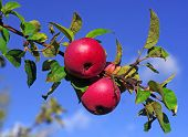 Red Apples On A Branch Against The Blue Sky