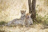 Cheetah rests after meal in Serengeti