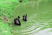 picture of black swan  - twin Black Swans in a water  - JPG