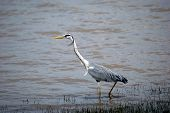 Grey heron, Selous National Park, Tanzania