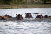 Hippos, Selous National Park, Tanzania