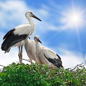Storks In The Nest On The Sky Background