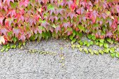 Boston Ivy Growing On A Wall