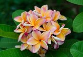 Frangipani With Leaves In Background