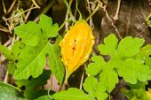 stock photo of bitter gourd  - Bitter gourd is a vine in vegetable garden - JPG