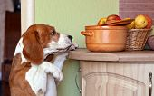 Beagle In Kitchen