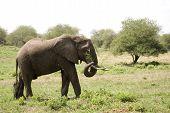 African Elephant, Selous National Park, Tanzania