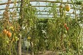Organic Tomatos
