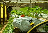 Strawberry Production At Hydroponic Farm