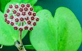 Hoya Carnosa Flowers And Heart Shaped Leaf
