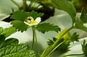 Small Bee Pollinating Strawberry Flower