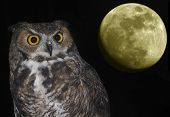 image of owl eyes  - A Great Horned Owl Bubo virginianus and Moon Against the Black of Night - JPG