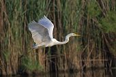 beautiful specimen of egret