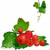 pic of spiky plants  - an illustration of different sized redcurrant berries on a spiky vine with leaves and water drops on it isolated background - JPG