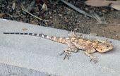 Steppe Agama Lizard