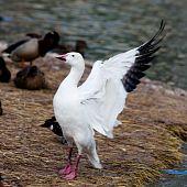 Snow, Or Blue Goose, Chen Hyperboreus, Anser Caerulescens