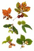 image of fall leaves  - Acorn hazelnut beech chestnut and conker nuts with leaf sprigs isolated over white background - JPG