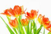 Clump Of Double Orange Tulips