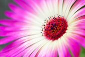 pic of daisy flower  - Close Up Of A Pink Daisy Flower On A Flower Meadow Postcard Motive Or Background Motive - JPG