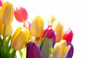 Close Up Of Sunny Tulip Flower Meadow Isolated With Copy Space