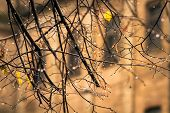 Raindrops On The Branches Without Leaves In Autumn