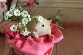 picture of rats  - Champagne pet fancy rat in a pink valentine - JPG
