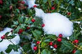 Snow On Holly Bush With Berries